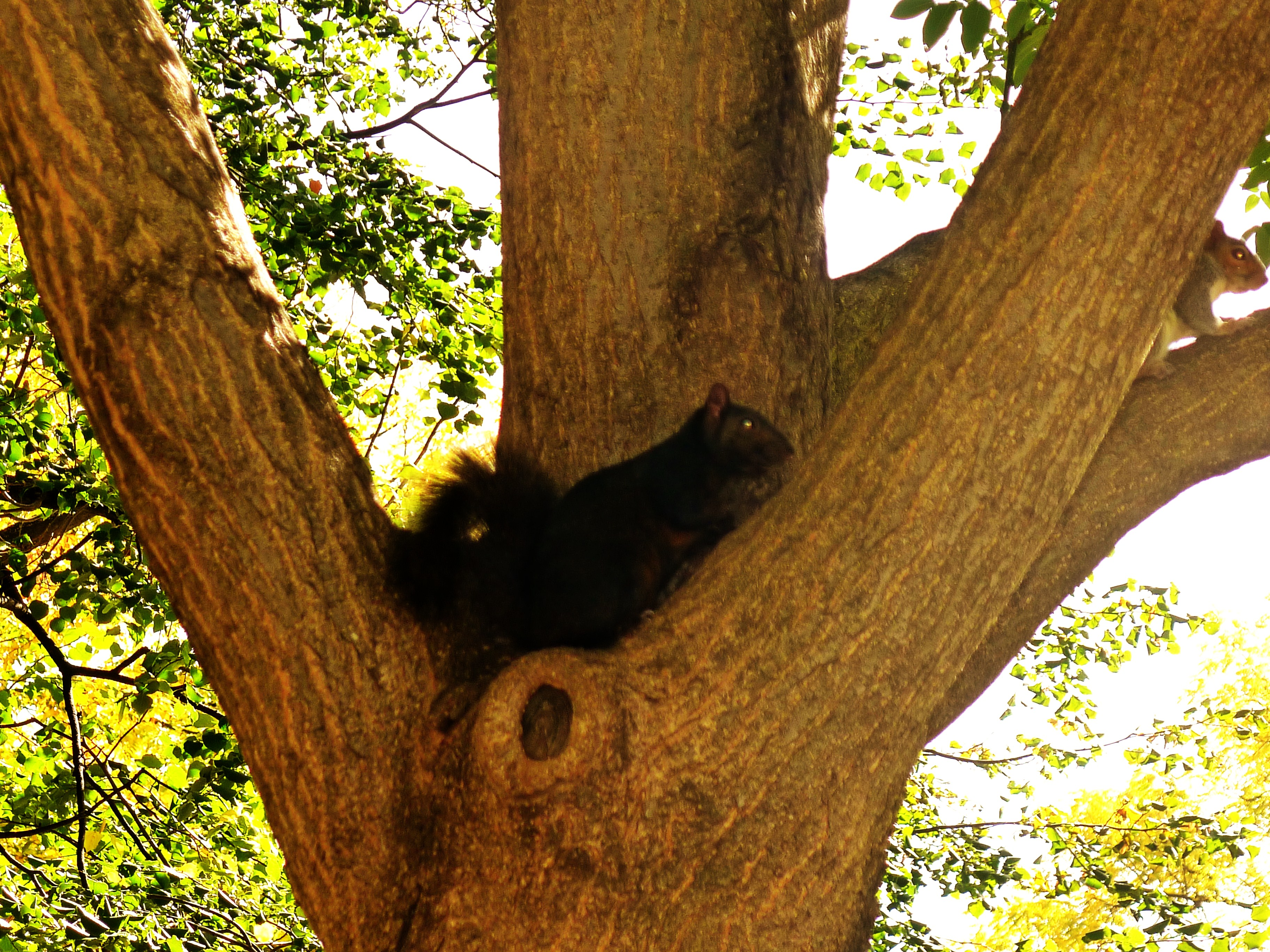 Black Squirrel in D.C.